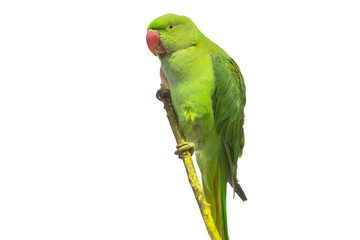 Green parrot isolated over white