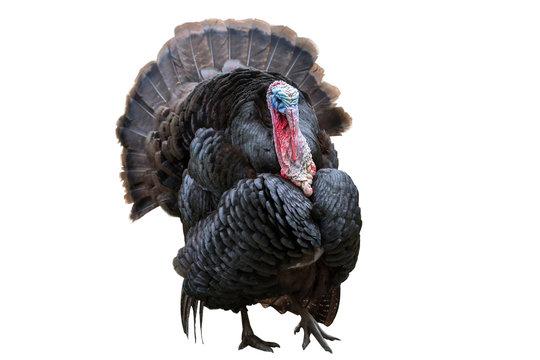 Wild turkey bird isolated over white
