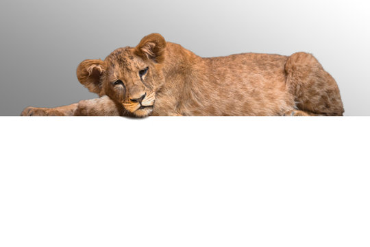 Lion cub lying at the white background