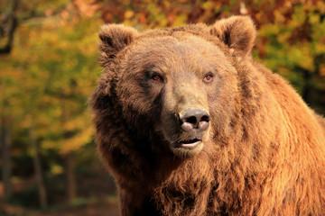 Fototapete - Bear popular omnivore of the world