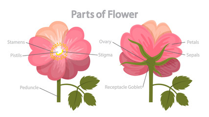 Flower part infographics. Biology and education concept