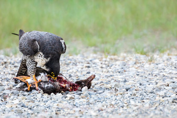 Peregrine Falcon - Falco peregrinus. Standing atop  it's prey, a duck, while reaching down to feed.