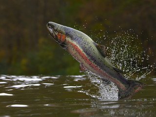 Trout fish jumping out of lake or river with splashes 3d render