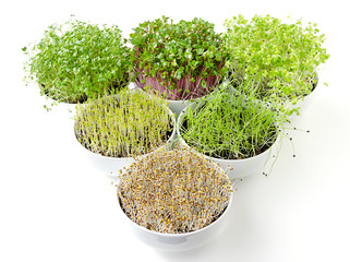 Triangle of microgreens and sprouts in white bowls. Shoots of alfalfa, Chinese cabbage, garlic, kale, lentils and radish in potting compost. Green seedlings, young plants and cotyledons. Food photo.