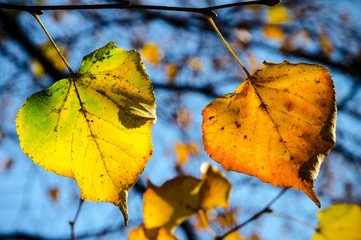 Autumn color leafs