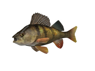 Perch fish 3d render with isolated white  background
