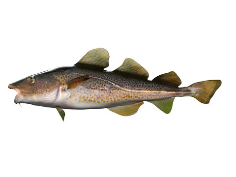 Side view of cod fish 3d render