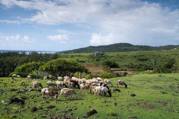 Sheep in the field in Rodrigues island - Typical landscape