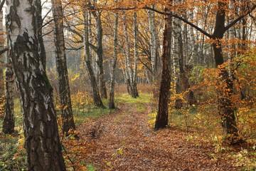 Photo sur Plexiglas Bosquet de bouleaux Birch forest in the fall