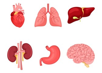 Human anatomy. A set of internal organs. Brain, kidneys, lungs, stomach, heart, liver. Medicine and health. Flat style. Cartoon.