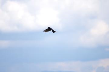 Black drongo, Dicrurus Macrocercus, Action beautiful bird on nice blur background