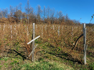 plantation of raspberries in autumn