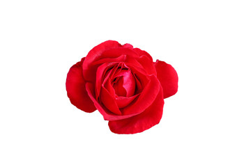 Beautiful and attractive red rose on white background