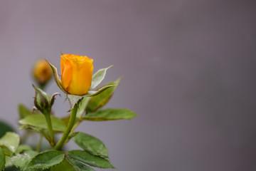 Yellow Rosebud blooming in the garden