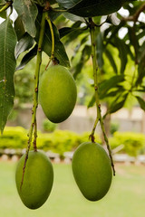 Bunch of green mangoes with leafs hanging on tree