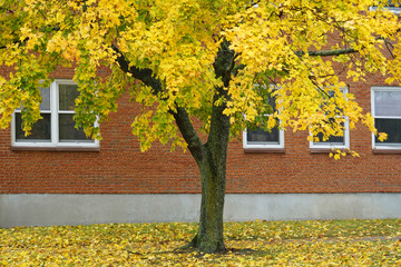 autumn yellow trees with fallen leaves in front of the building