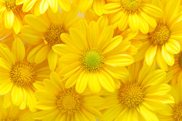 yellow chrysanthemum flowers Wall mural