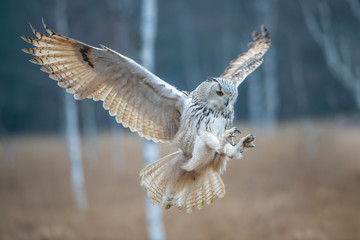 Eagle owl flying in the forest. Huge owl with open wings in habitat with trees. Beautiful bird with orange eyes.