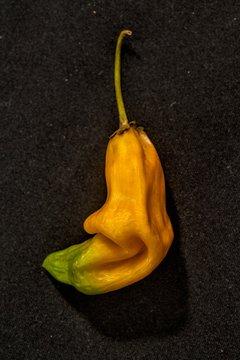 A yellow 'Aji Amarillo' chilli