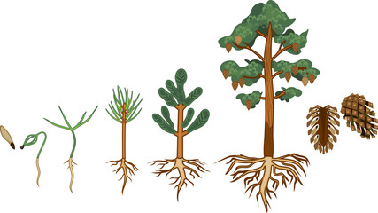 Pine tree life cycle. Stages of growth from seed to mature pine tree with cones