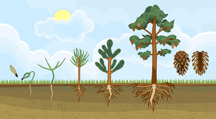 Pine tree life cycle. Stages of growth from seed to mature pine tree with cones. Plants showing root structure below ground level