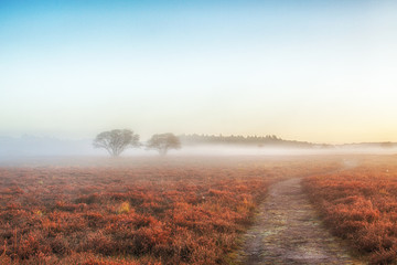 Beautiful sunrise with low hanging fog in a Dutch landscape with flowering heather. Shot against a clear sky.