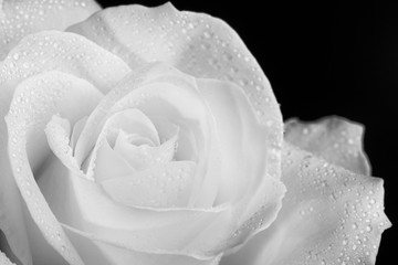 Close up of one single white rose with water drops, shot against black background.