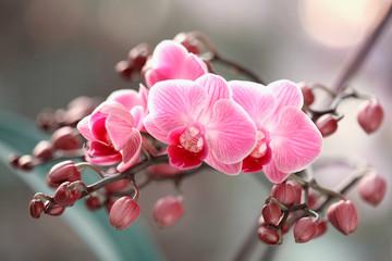 Fototapeta Storczyki kwitnące