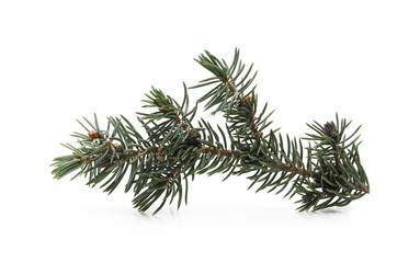 Pine branch isolated on white background