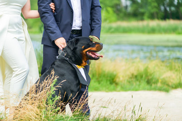 Happy dog Rottweiler with a beautiful shirt on his neck on a leash sitting next to the bride and groom in the summer next to the river