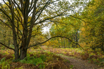 Autumn landscape with colored oak trees and ferns in the Netherlands