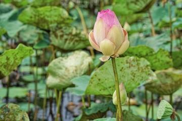 big lotus in pond at Bangkok ,thailand