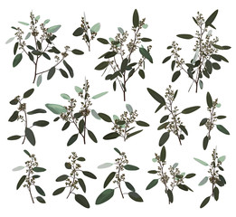 Eucalyptus silver, zerin, cineraria, greenery, gum tree foliage natural leaves and branches designer art tropical elements set bundle hand drawn in watercolor style. Vector l elegant illustration