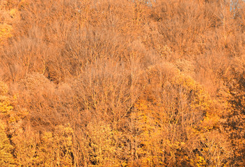 full frame golden yellow autumn forest canopy background