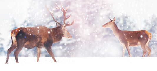 Wall Mural - Beautiful male and female deer in the snowy white forest. Noble deer (Cervus elaphus).  Artistic Christmas winter image. Winter wonderland.