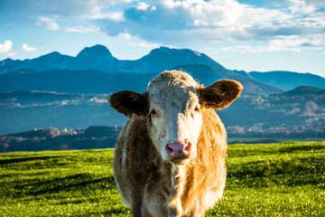 Fototapete - cow at the alps