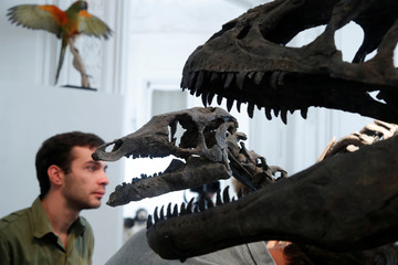 Two dinosaur skeletons, an Allosaurus and a Camptosaurus discovered in Wyoming, are reconstructed ahead of an auction at Artcurial auction house in Paris