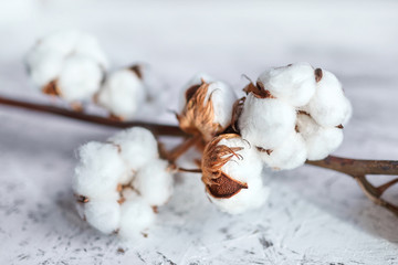 White fluffy cotton flowers. Dry plant with open buds