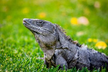 Iguana on grass