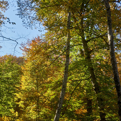 Trees and shrubs with yellow and green leaves on the mountainside, in the autumn forest. This golden autumn. Fabulous landscape of the magical forest on the Caucasus mountain range.