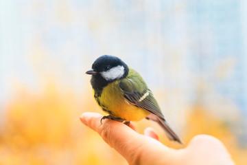 Fototapeta premium słodki przestraszony ptaszek siedzi na dłoni i odleci na wiosenne niebo w słoneczny, pogodny dzień