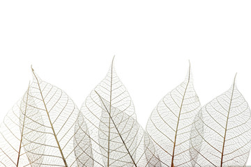 Foto op Canvas Decoratief nervenblad Beautiful decorative skeleton leaves and space for text on white background