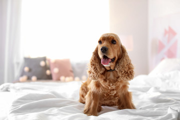 Cute Cocker Spaniel dog on bed at home. Warm and cozy winter Wall mural