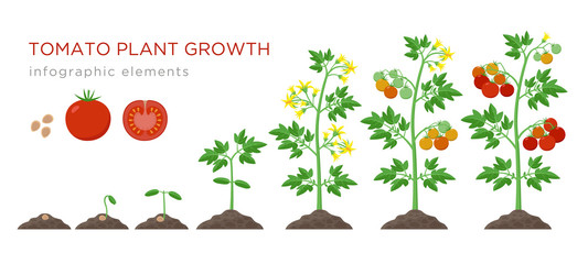 Tomato plant growth stages infographic elements in flat design. Planting process of tomato from seeds sprout to ripe vegetable, plant life cycle isolated on white background, stock vector illustration