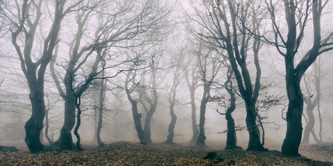 Haunted Forest of Spooky Gnarled Beech Trees in Thick Fog