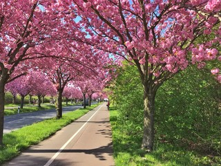 Pink cherry tree during cherry blossom season in spring on an empty street