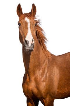 horse isolated on white background