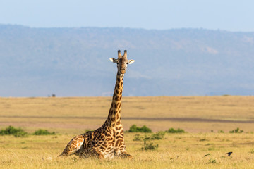 Giraffe lying down on the savanna