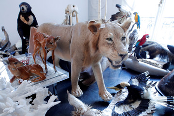 A stuffed lion is seen ahead of an auction at Artcurial auction house in Paris
