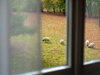 Schafe vor dem Fenster